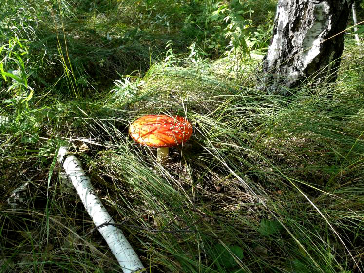 World Travel Photos :: Russia - Omsk District :: Russia. Omsk District - amanita
