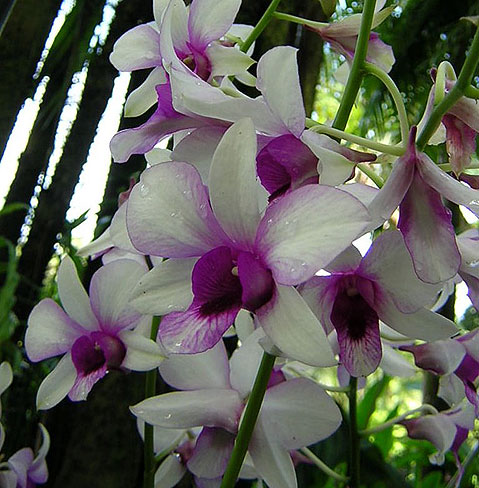 World Travel Photos :: Singapore :: Singapore. Orchids