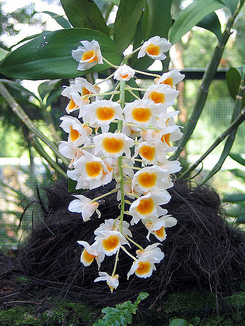 World Travel Photos :: tigraed :: Singapore.Orchids