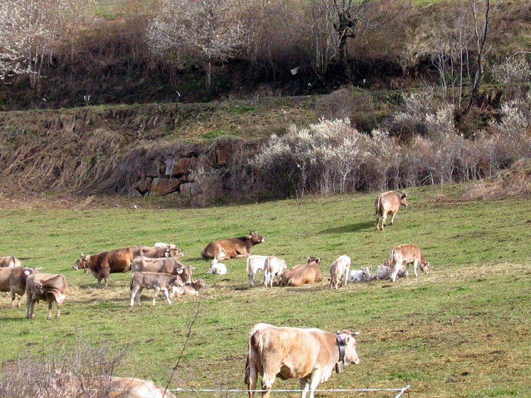 World Travel Photos :: Lel Keshet :: Spain. Cows in Pyrenees