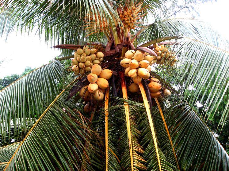 World Travel Photos :: Sri Lanka :: Sri Lanka. A variety of coconat tree