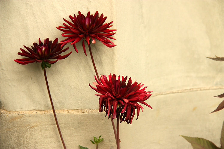 World Travel Photos :: Sweden - Drottningholm :: Drottningholm Palace - dahlias growing along the palace walls
