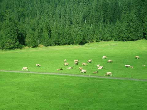 World Travel Photos :: Dave C. :: Switzerland. Engelberg. Swiss cows