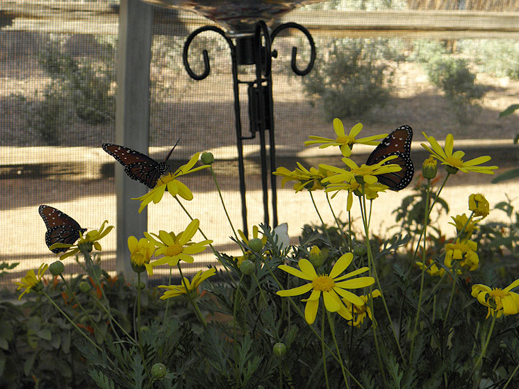 World Travel Photos :: USA - Arizona - Phoenix :: Butterflies in Phoenix Desert Botanical Garden