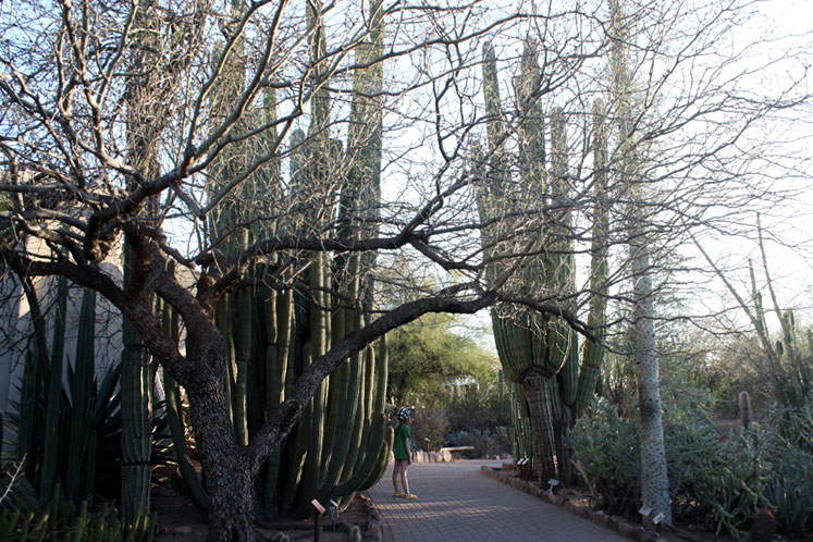 World Travel Photos :: USA - Arizona - Phoenix :: Phoenix. Desert Botanical Garden - giants