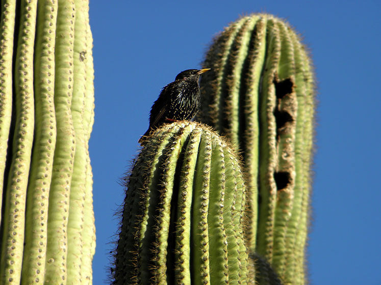 World Travel Photos :: USA - Arizona - Phoenix :: Arizona. Phoenix Botanical Garden - a bird living in saguaro