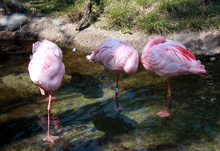 World Travel Photos :: USA - Florida - Orlando - Disney World :: Orlando. Flamingos in Disney´s Animal Kingdom