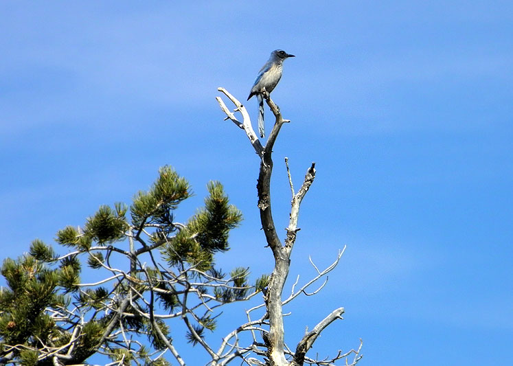 World Travel Photos :: USA - Arizona - Grand Canyon :: Arizona. Grand Canyon - a scrub-jay at the tree