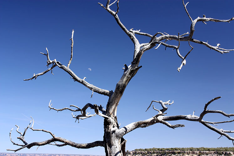 World Travel Photos :: USA - Arizona - Grand Canyon :: Grand Canyon - a bare tree and the Moon