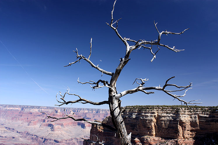 World Travel Photos :: Serenity :: A bare tree at the edge of the Grand Canyon
