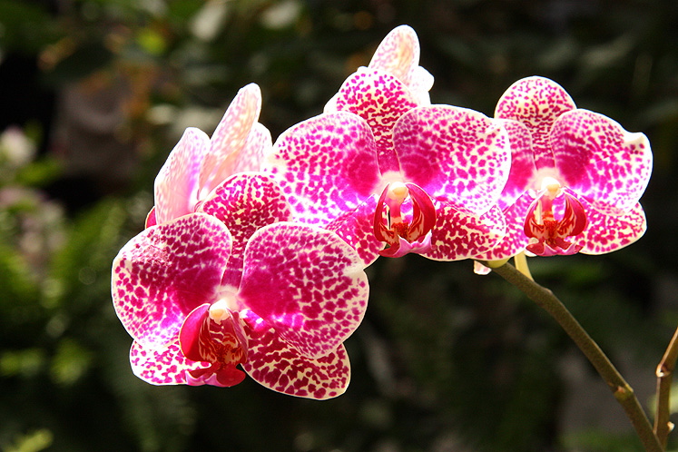 World Travel Photos :: Flowers :: Washington D.C. - an orchid (Doritaenopsis)