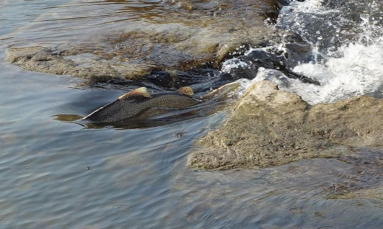Canada Ontario Photos :: Misc :: Red Hill Creek Salmon Run